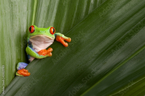 Poster Kikker red eyed tree frog