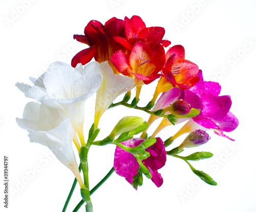 Fototapety, obrazy: multi-colored freesias