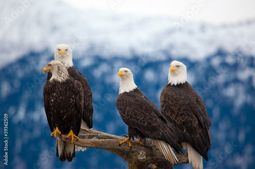 Tablou Canvas American Bald Eagles