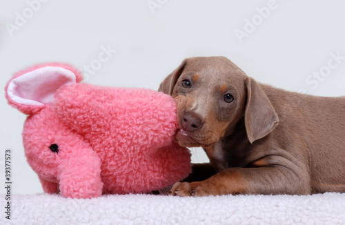 Doberman Pinscher Puppy Fawn Color Chewing On Toy Buy This Stock