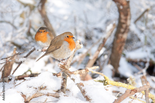 Photo  Robin redbreasts sitting in snow