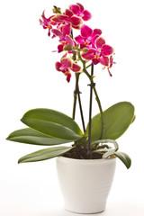 blooming phalaenopsis