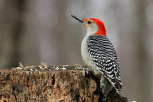 Red-bellied Woodpecker Melaner...