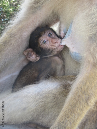Canvas Prints Monkey Vertederend