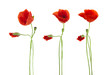 Trio of Red Poppies flowers isolated on white