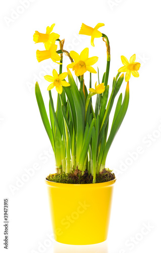 Photo sur Aluminium Narcisse spring narcissus flowers in pot on white background