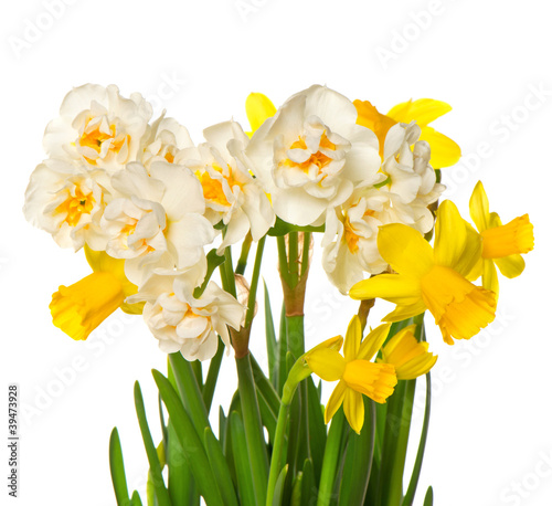 Papiers peints Narcisse fresh spring white and yellow narcissus flowers