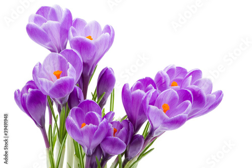 Staande foto Krokussen spring flowers, crocus, isolated on white