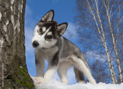 Siberian Husky Puppy Wallpaper Mural