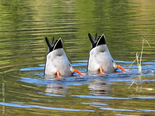 Team Work, ducks in cooperation
