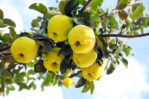 quince on tree against blue sky Poster Mural XXL
