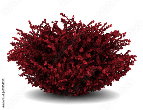 red leaf japanese barberry isolated on white background Canvas Print