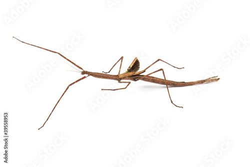 Photo  Margin winged stick insect, Ctenomorpha marginipennis (female)
