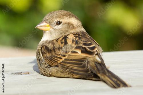 Fotomural Sparrow on a table