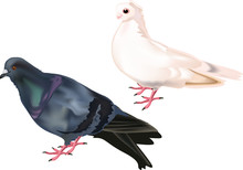 Isolated White And Black Doves