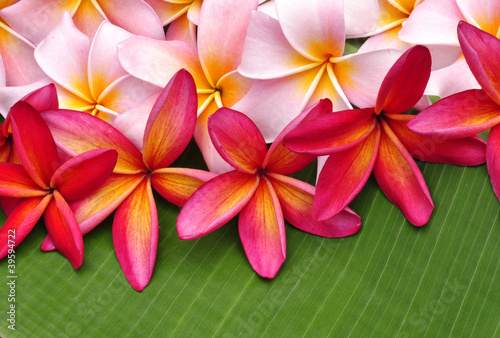 Keuken foto achterwand Frangipani Colorful Plumeria flowers on banana leaf