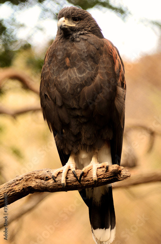 Fotografie, Tablou  Harris Hawk Perched on a Branch