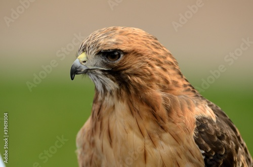 Photo  Red Tailed Hawk Close Up