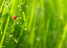 Early Morning In A Spring Grass And The Ladybug.