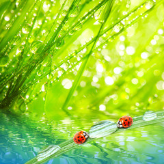 Fototapeta Do gabinetu lekarskiego/szpitala Early morning in a spring grass and the ladybugs.