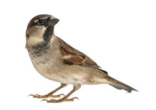 Male House Sparrow - Passer Do...