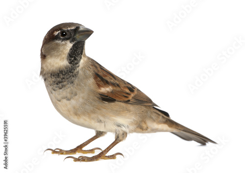 Fotografía male House Sparrow - Passer domesticus (5 months old)