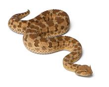 Saharan Horned Viper - Cerastes Cerastes, Poisonous