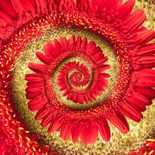 Gerbera Rouge, Spirale