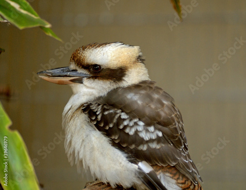 Fotomural Kookaburra