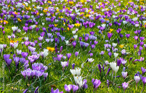 Canvas Prints Crocuses Osterwiese