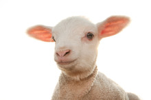 Little Lamb  Isolated On A White Background