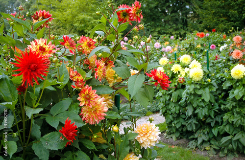 Fotografía garden full of different varieties of dahlia flowers