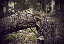 Fallen Old Tree