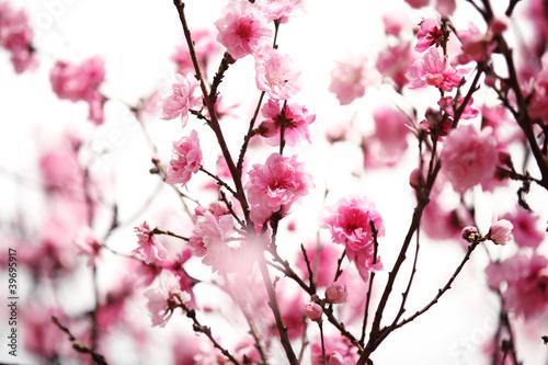 rozowy-kwiat-sliwy