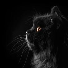 Black Persian Cat On Black Bac...