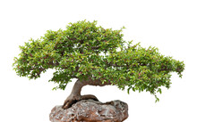 Green Bonsai Tree Growing On A...
