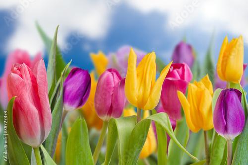 Fototapety, obrazy: Tulips - beautiful spring flowers