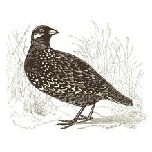 Perdrix ( Francolinus Vulgaris )