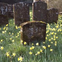 Churchyard With Daffodils