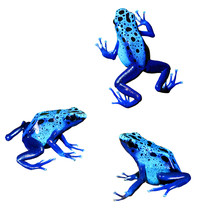 Colorful Blue Frog Dendrobates...