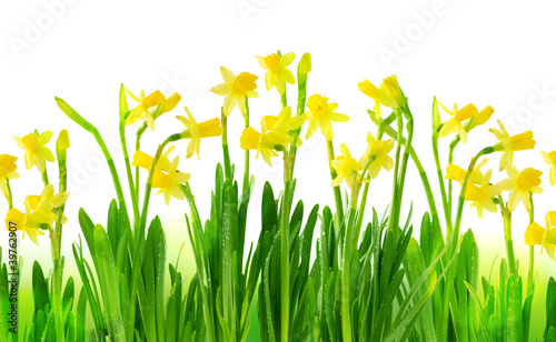 In de dag Narcis Narcissus and daffodil isolated