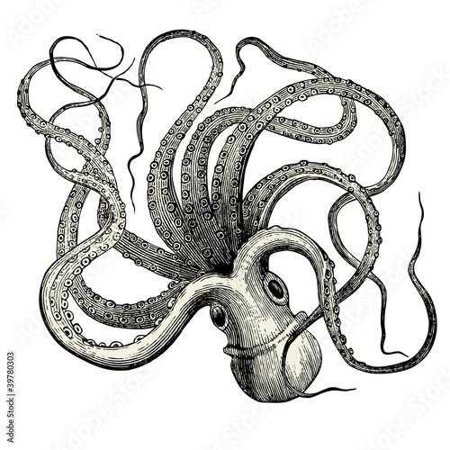 Fotografie, Obraz  Pieuvre (Octopus vulgaris)