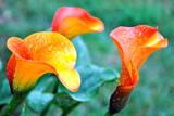 Fototapeta Kwiaty - kalie