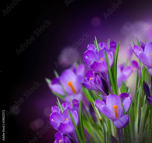 wiosenne-kwiaty-krokusow