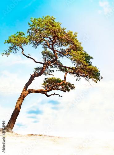 Fototapeta Conifer on bright blue sky obraz na płótnie