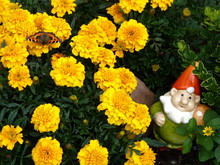Tagetis Mit Schmetterling Und Zwerg