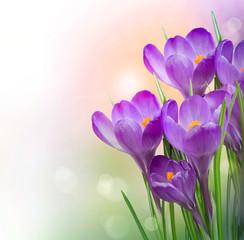 Obraz Crocus Spring Flowers