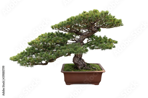 Deurstickers Bonsai bonsai pine tree