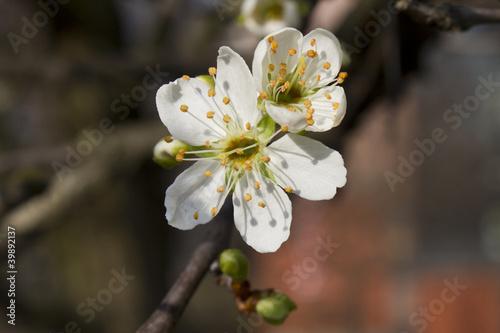 Fototapeta wiosna wiosenne-kwiaty-moreli