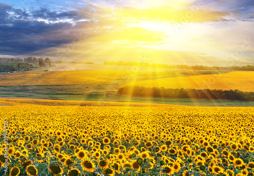 Spoed Foto op Canvas Zonnebloem Sunset over the field